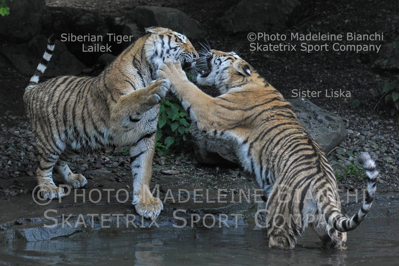 Siberian Tigers LAILEK, LISKA - If necessary we fight remorselessly!