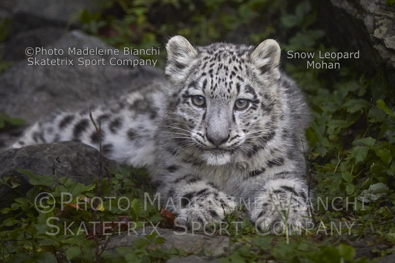 Snow Leopard Baby MOHAN - a perspicacious little fellow!