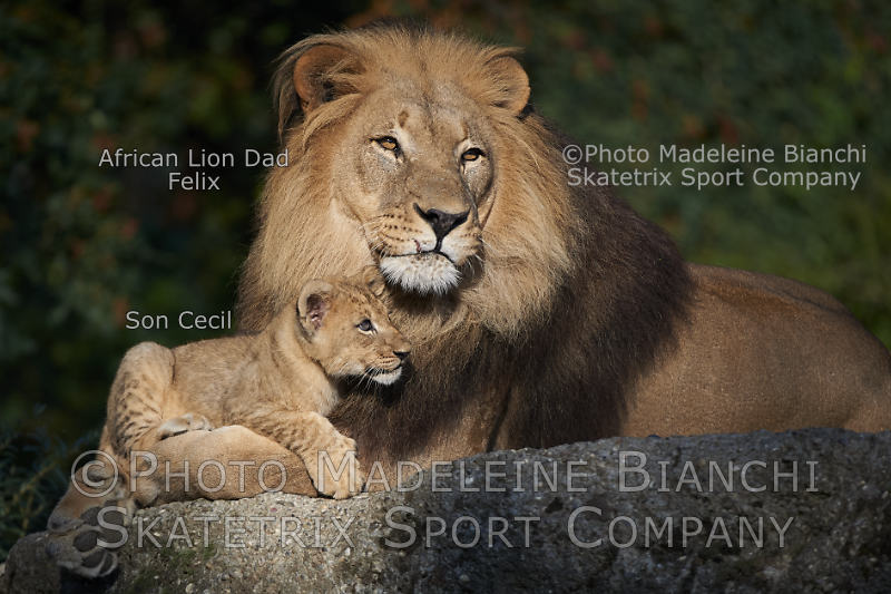 African Lion Daddy FELIX with Little Son CECIL in their earthly Paradise!