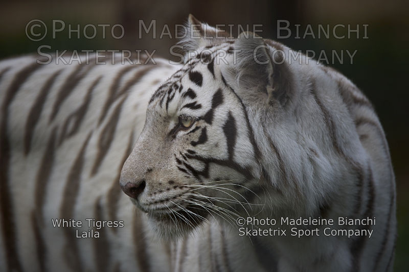 White Tigress LAILA - best regards to the Nobel Prize Committee!