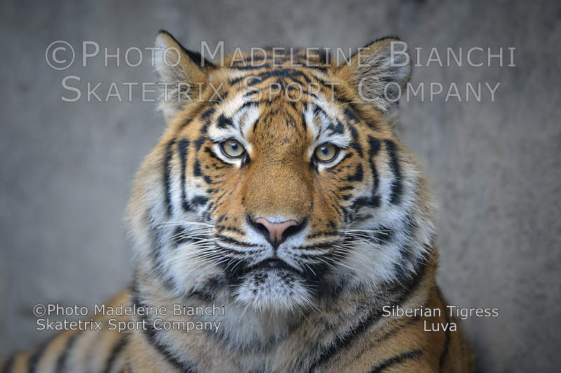 Siberian Tigress LUVA - do you see the writing on the wall?