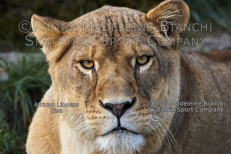 Lioness ELSA - unlike you I'm mentally completely healthy!