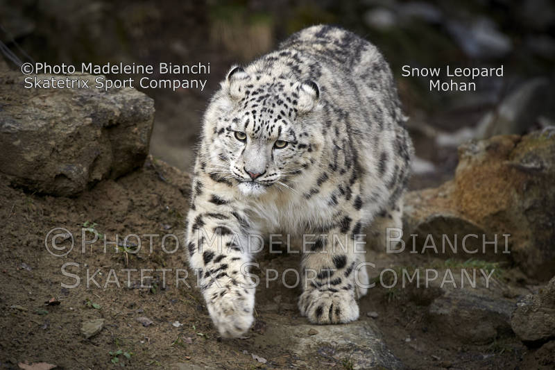 Little Snow Leopard Boy MOHAN - surely not one of the cowardly appeasers!