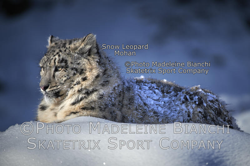 Little Snow Leopard Boy MOHAN - mindset of man: after me, the deluge!
