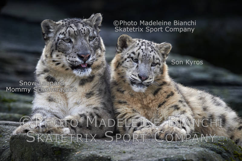 Snow Leopard KYROS  and Mommy SCHEHERAZADE - Isn't mankind gaga?