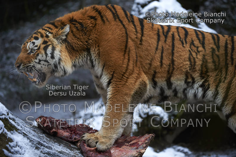 Siberian Tiger DERSU UZALA - «Pecunia non olet!» or «Money has no smell!»!