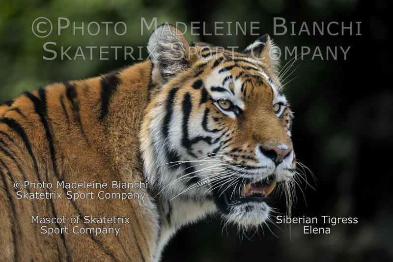 Siberian Tigress ELENA - Europeans! Isn't EURABIA a cultural enrichment for you?