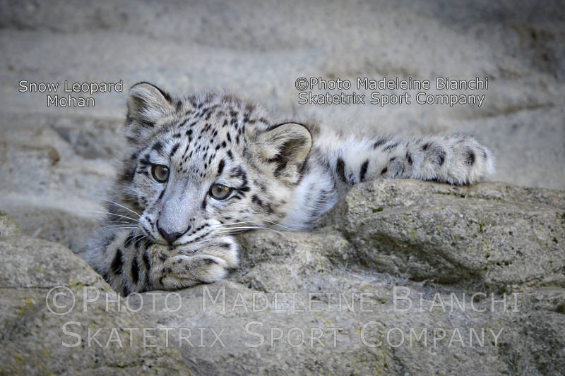 Little Snow Leopard MOHAN - Swiss Government kowtows to terrorists!