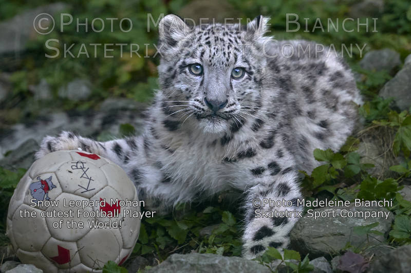 Little Snow Leopard MOHAN - World's cutest Football Player!