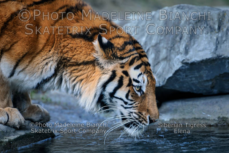 Siberian Tigress ELENA - do you want to undergo the Miseries of Socialism?
