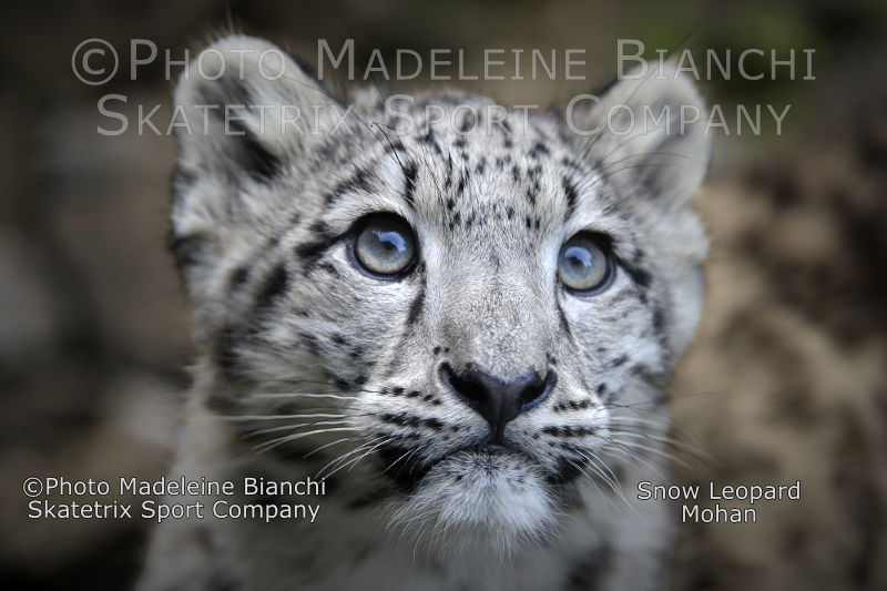 Little Snow Leopard MOHAN - Stupidity kills all life on Mother Earth!