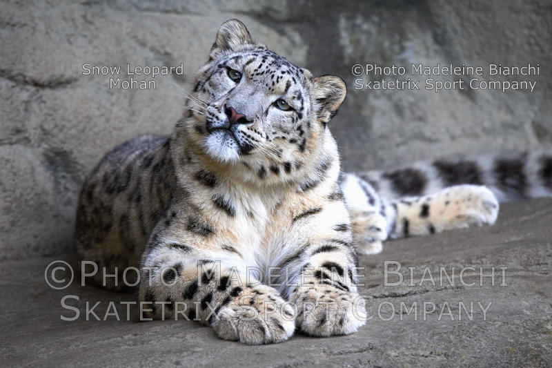Little Snow Leopard MOHAN - Swiss cause of global migration mess!