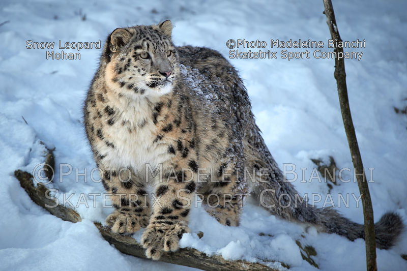 Little Snow Leopard MOHAN - The big Stalin debunked Social democracy!