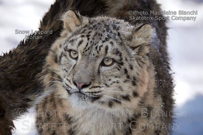 Little Snow Leopard MOHAN - my bright eyes see the splendor of winter!