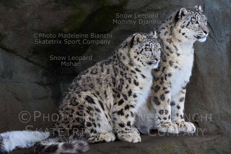 Little Snow Leopard MOHAN - my mommy knows much about the new idol!