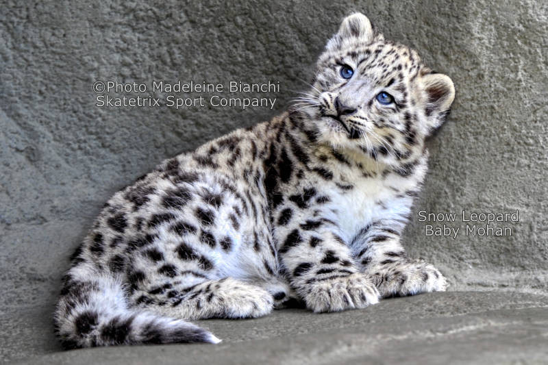 Little Snow Leopard MOHAN -  Do you live in abstractions or in reality?