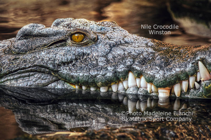 Nile Crocodile WINSTON - as per Winston Churchill I eat appeasers last!