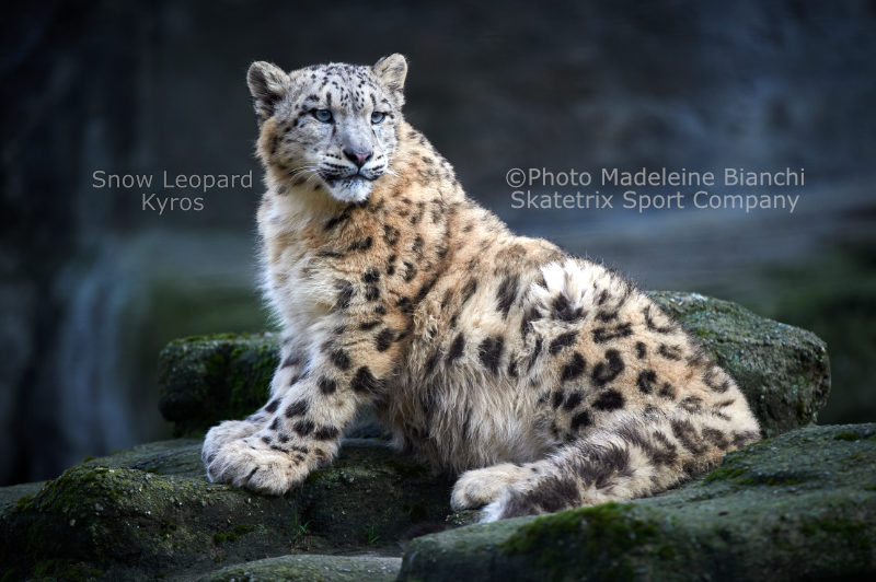 Little Snow Leopard KYROS - I witness the downfall of the West!