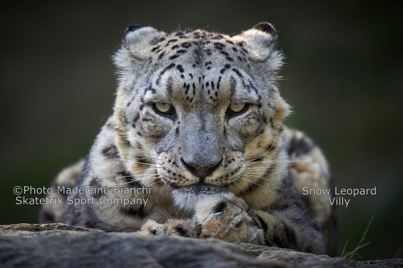 Snow Leopard VILLY - ARTHUR SCHOPENHAUER causes you a HEADACHE too?