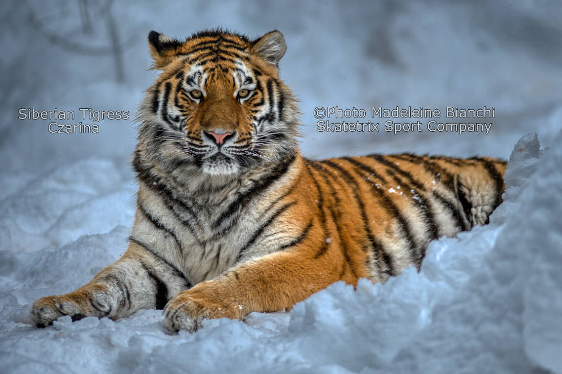 SIBERIAN TIGRESS CZARINA - From the Winter Wonderland in Siberia!