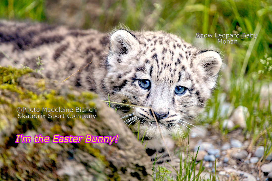 Little Snow Leopard MOHAN - I am the Easter Bunny!