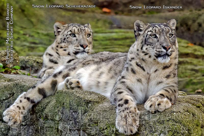 Snow Leopard Pair SCHEHERAZADE and ISKANDER