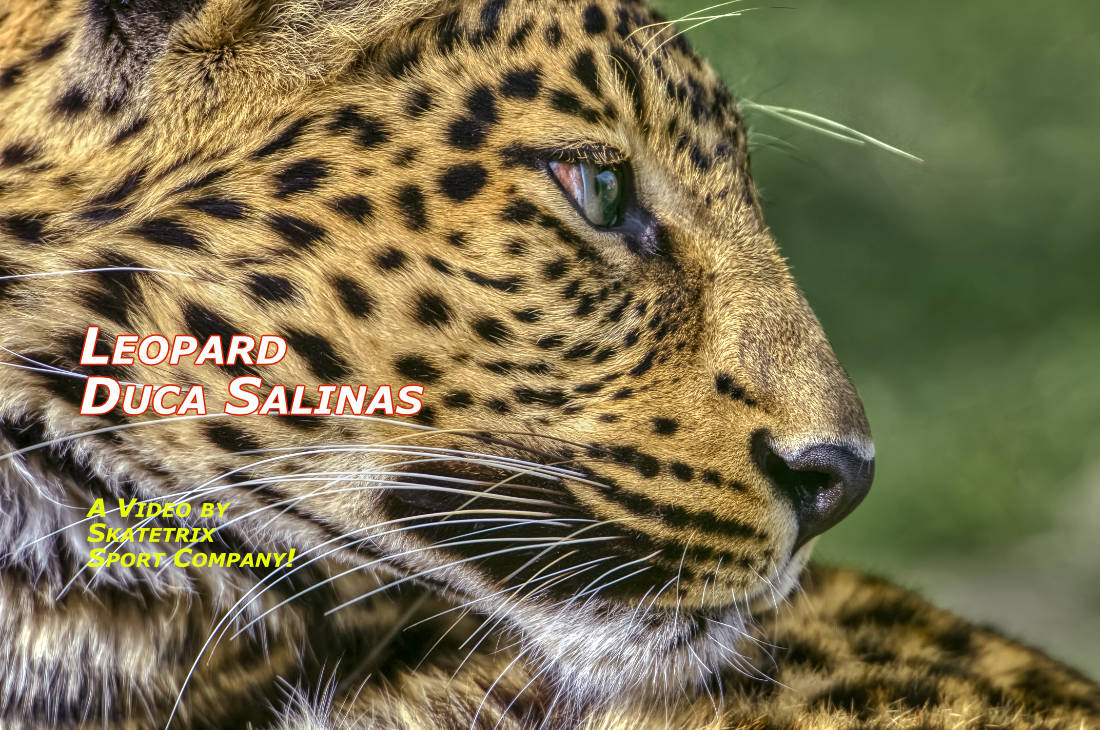 LEOPARD DUCA SALINAS| wildlife - big cat video clip
