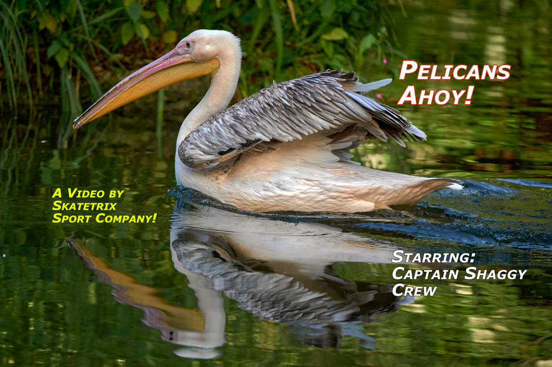 PELICANS AHOY! | wildlife - big cat video clip