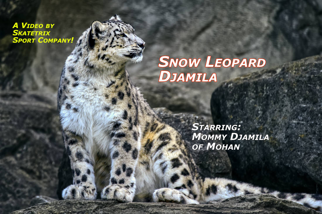 SNOW LEOPARD DJAMILA | wildlife - big cat video clip