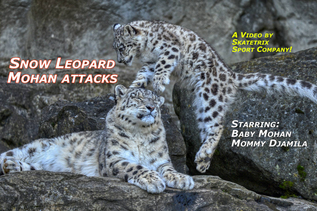 SNOW LEOPARD MOHAN ATTACKS | wildlife - big cat video clip