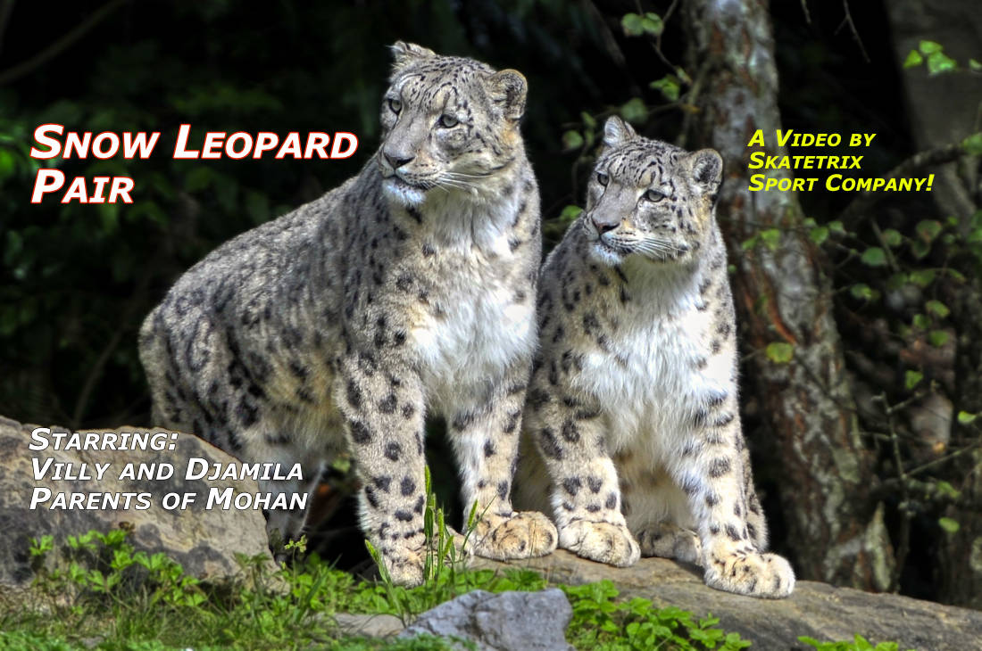 SNOW LEOPARD PAIR | wildlife - big cat video clip