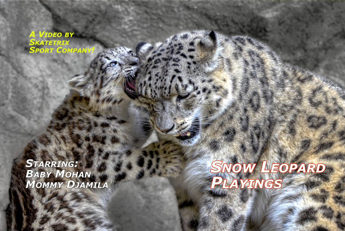 SNOW LEOPARD PLAYINGS | wildlife - big cat video clip
