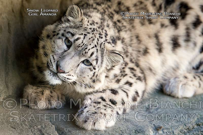 snow_leopard_amanda_portrait_ledge_lie_NDF0947.jpg
