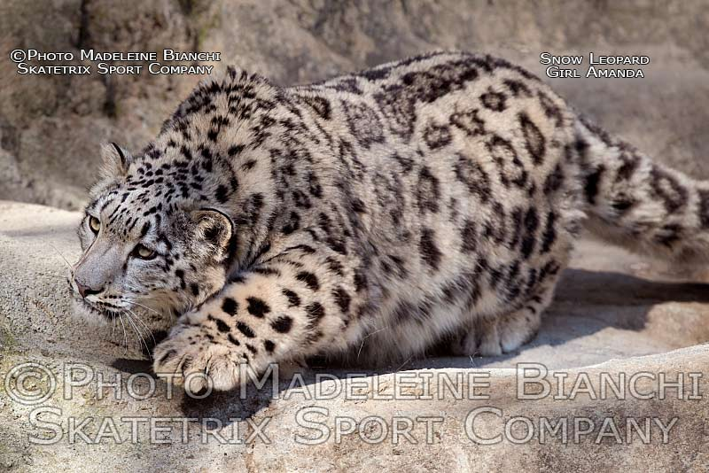 snow_leopard_amanda_sneak_ledge_D4S2180.jpg