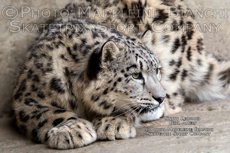 snow_leopard_amely_lie_ledge_D4S2347_2.jpg