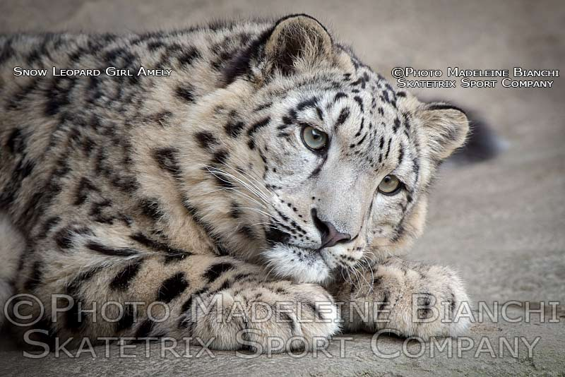 snow_leopard_amely_portrait_thoughful_lie_D4S2377.jpg