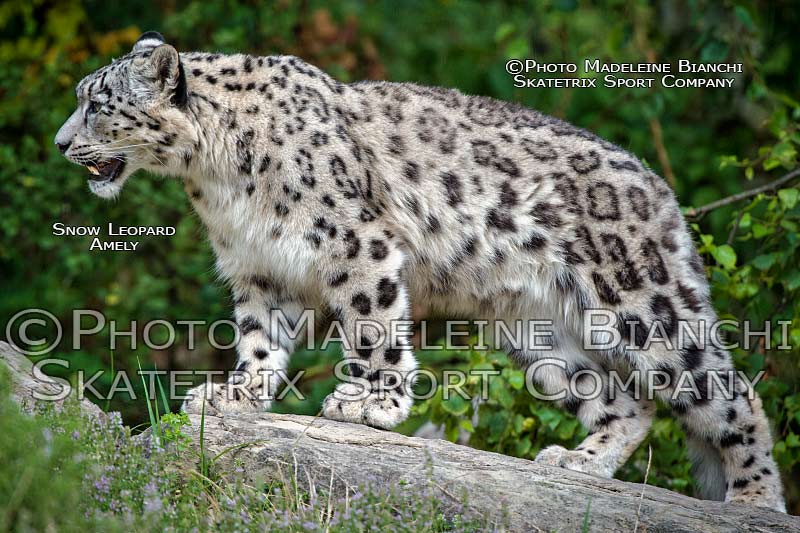 snow_leopard_amely_stand_rock_hdr_D4S2927.jpg