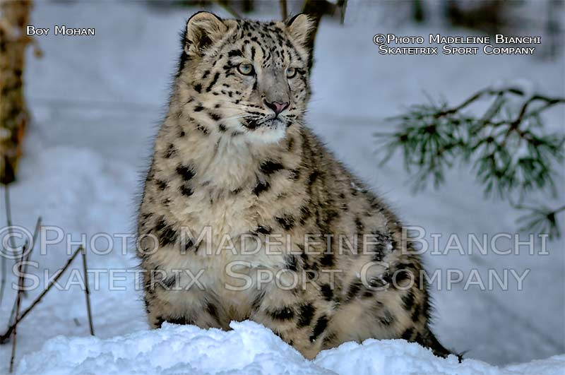 snow_leopard_boy_mohan_sit_snow_hdr_4122364.jpg