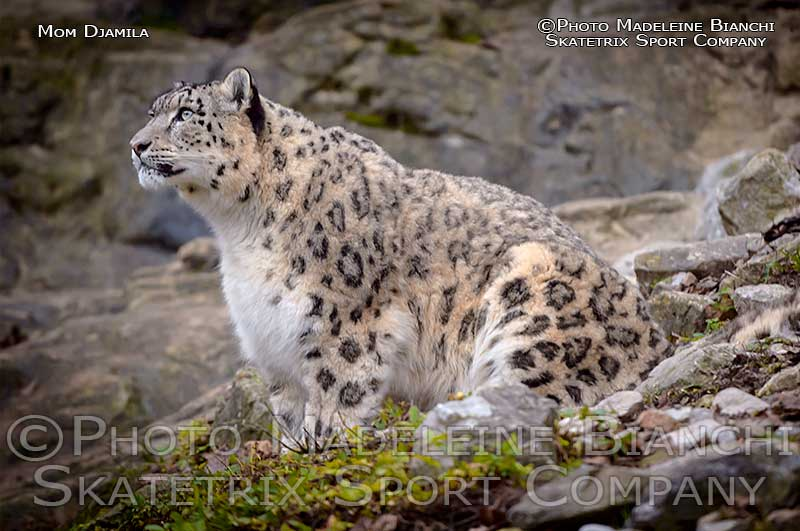 snow_leopard_djamila_sitting_rocks_1252.jpg