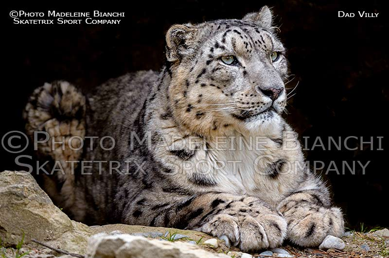 snow_leopard_male_villy_cave_lie_D433937.jpg