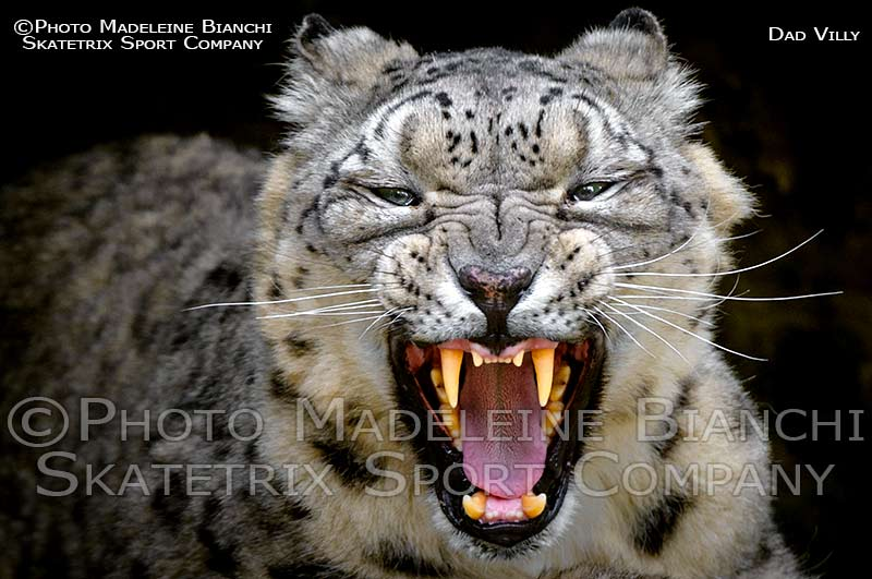 snow_leopard_male_villy_cave_teeth_D433938.jpg