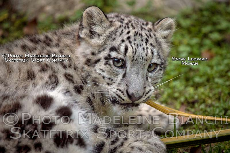 snow_leopard_mohan_profile_bit_bamboo_hdr_4124410.jpg