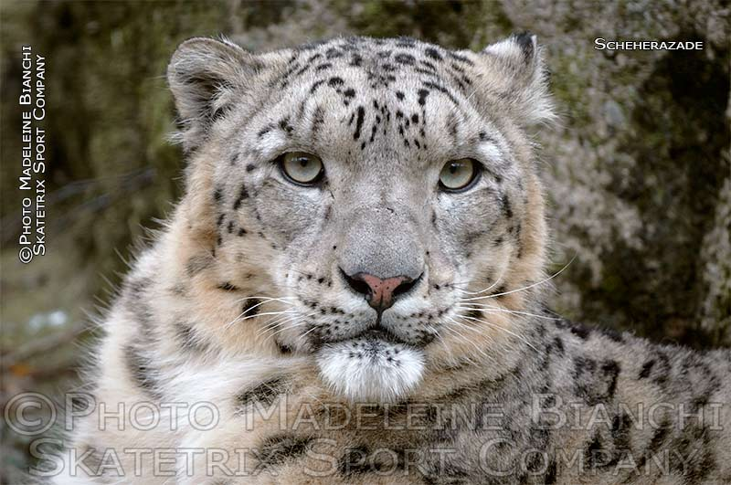 snow_leopard_scheherazade_rock_ND46228.jpg