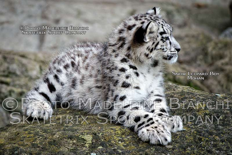 snow_leopard_tot_mohan_lie_rock_zoo_hdr_97.jpg