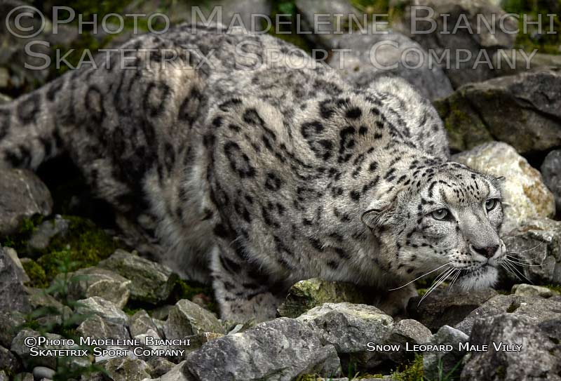 snow_leopard_villy_ambush_night_hdr_375.jpg