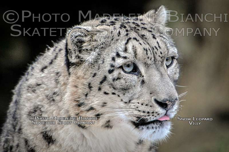 snow_leopard_villy_portrait_profile_hdr_24.jpg