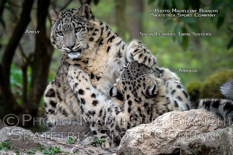 snow_leopards_amanda_amely_scuffle_D4S2332.jpg