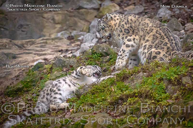 snow_leopards_djamila_mohan_play_debris_8120513.jpg