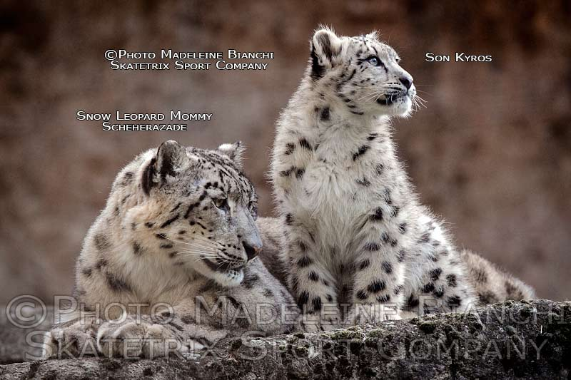 snow_leopards_mommy_scheherazade_son_kyros_rock_hdr_D4S5141.jpg