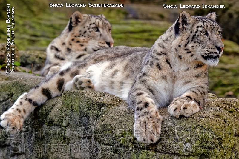 snow_leopards_scheherazade_iskander_lie_concentrated_hdr_D4S1405_947_DxO.jpg